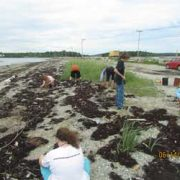 Beach Grass Project at Causeway Beach